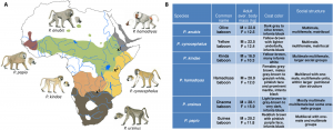 Map of baboon species and table of their distinguishing features