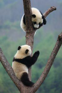 Two captive giant pandas in Wolong